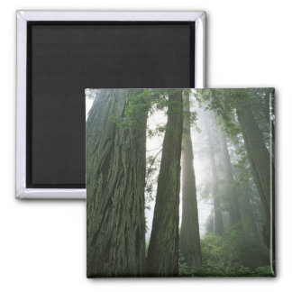 USA, California, Redwood National Park, 2 2 Inch Square Magnet