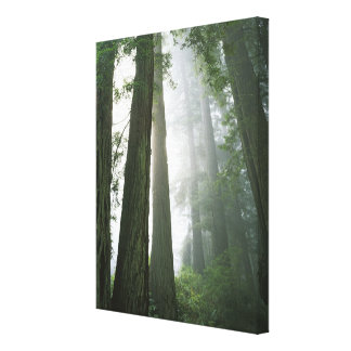 USA, California, Redwood National Park, 2 Canvas Print