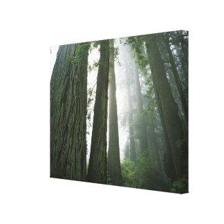 USA, California, Redwood National Park, Canvas Print