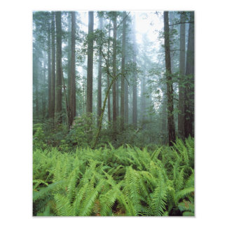USA, California, Redwood NP. Ferns and Photo Print