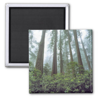 USA, California, Redwood NP. Fog filters the 2 Inch Square Magnet