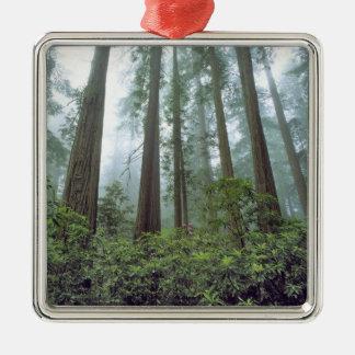 USA, California, Redwood NP. Fog filters the Christmas Ornaments