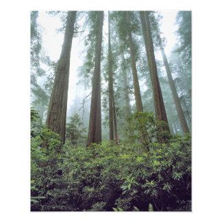 USA, California, Redwood NP. Fog filters the Photo Print