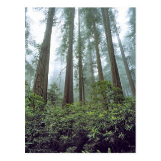 USA, California, Redwood NP. Fog filters the Postcard