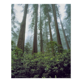 USA, California, Redwood NP. Fog filters the Poster