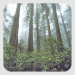 USA, California, Redwood NP. Fog filters the Square Sticker