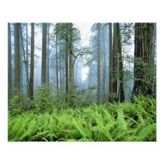 USA, California, Redwood NP. Redwood trees Photo Print