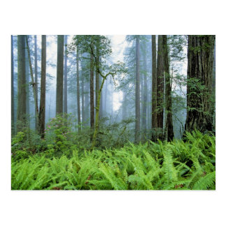 USA, California, Redwood NP. Redwood trees Postcard