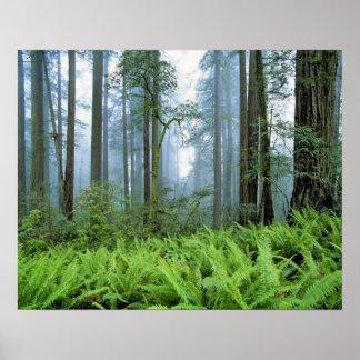 USA, California, Redwood NP. Redwood trees Poster