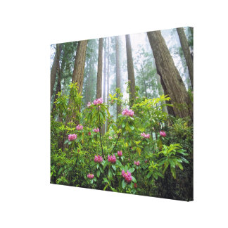 USA California Redwood NP Rhododendron Stretched Canvas Prints