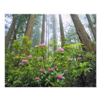 USA, California, Redwood NP. Rhododendron Photo Print