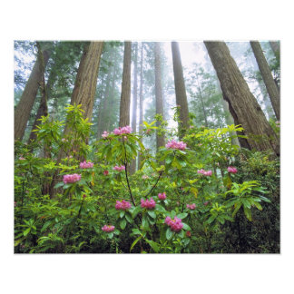 USA, California, Redwood NP. Rhododendron Photographic Print