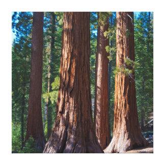 USA, California. Redwood Tree Trunks, Mariposa Stretched Canvas Print