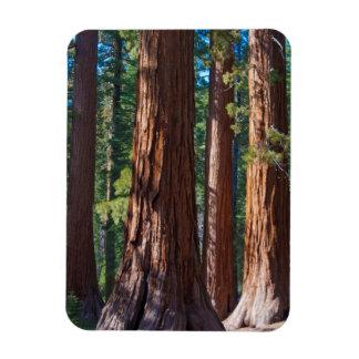 USA, California. Redwood Tree Trunks, Mariposa Magnet