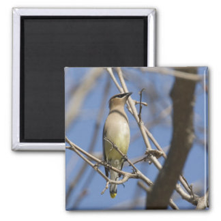 USA - California - San Diego - Cedar Waxwing 2 2 Inch Square Magnet
