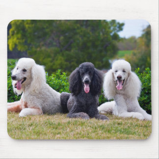 USA, California. Three Standard Poodles Posing Mouse Pad