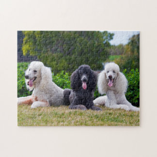 USA California Three Standard Poodles Posing Puzzle