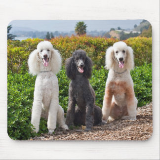USA, California. Three Standard Poodles Sitting 2 Mouse Pad