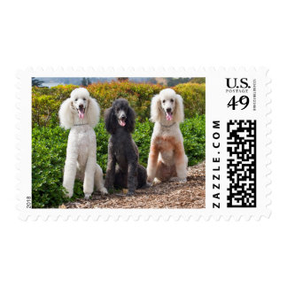 USA, California. Three Standard Poodles Sitting 2 Postage Stamp