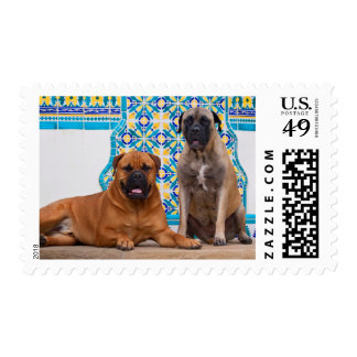 USA, California. Two Mastiffs Looking At You Postage