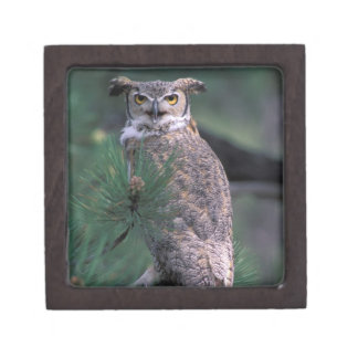 USA, CO, Colorado Springs. Great Horned Owl in Gift Box