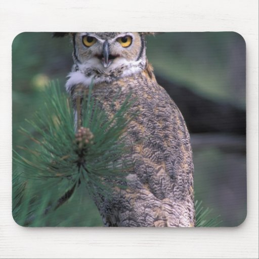 USA, CO, Colorado Springs. Great Horned Owl in Mouse Pad