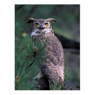 USA CO Colorado Springs Great Horned Owl in Post Card