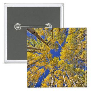 USA, Colorado, Aspen area. Aspen forest in fall 2 Inch Square Button