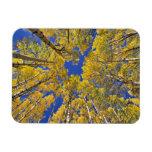 USA, Colorado, Aspen area. Aspen forest in fall Vinyl Magnets
