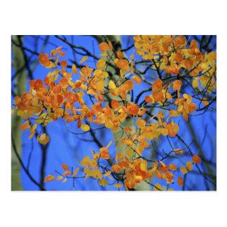USA, Colorado. Aspen leaves that have taken Postcard