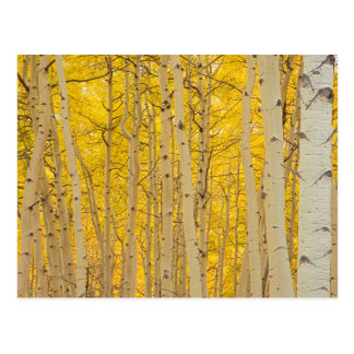 USA, Colorado. Aspens In Gunnison National Postcard