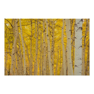 USA, Colorado. Aspens In Gunnison National Poster