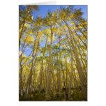 USA, Colorado, Autumn Aspens Along the Last Greeting Cards