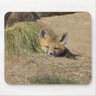 USA, Colorado, Breckenridge. Alert red fox Mouse Pad