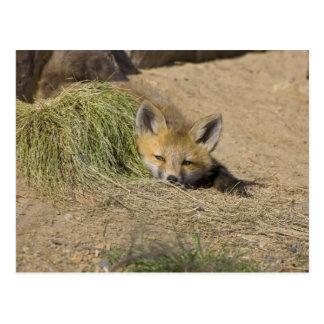 USA, Colorado, Breckenridge. Alert red fox Postcard