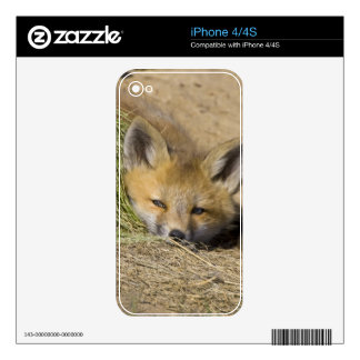 USA, Colorado, Breckenridge. Alert red fox Decals For The iPhone 4