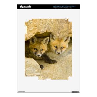 USA, Colorado, Breckenridge. Curious red fox Decals For iPad 3