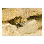 USA, Colorado, Breckenridge. Curious red fox Photo Print
