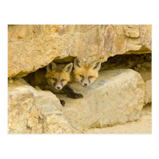 USA, Colorado, Breckenridge. Curious red fox Postcard