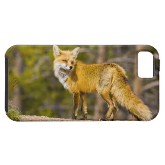 USA, Colorado, Breckenridge. Portrait of red fox iPhone SE/5/5s Case