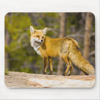 USA, Colorado, Breckenridge. Portrait of red fox Mouse Pad