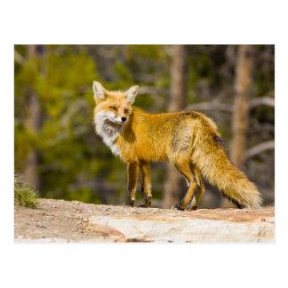 USA, Colorado, Breckenridge. Portrait of red fox Postcard