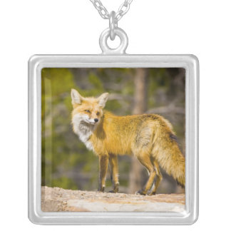 USA, Colorado, Breckenridge. Portrait of red fox Silver Plated Necklace