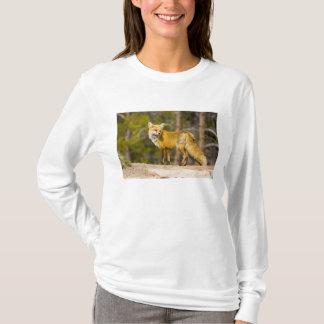 USA, Colorado, Breckenridge. Portrait of red fox T-Shirt