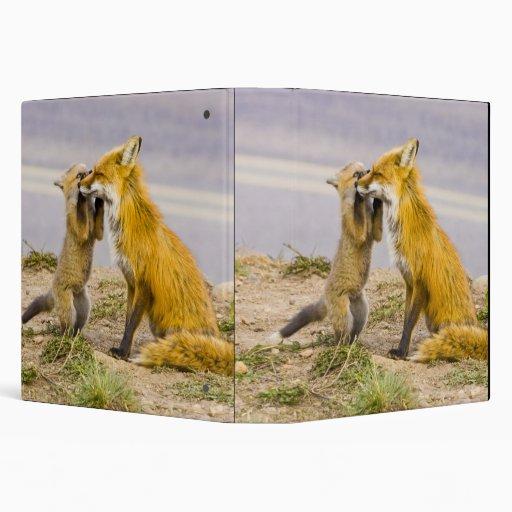 USA, Colorado, Breckenridge. Red fox mother 2 3 Ring Binder