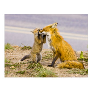 USA, Colorado, Breckenridge. Red fox mother 2 Postcard