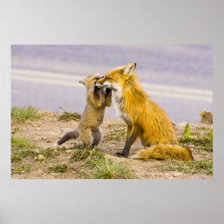 USA, Colorado, Breckenridge. Red fox mother 2 Posters