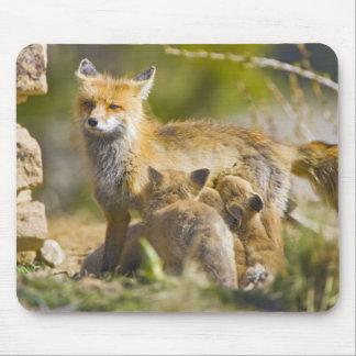 USA, Colorado, Breckenridge. Red fox mother 3 Mouse Pad