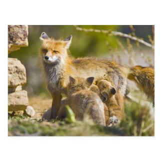 USA, Colorado, Breckenridge. Red fox mother 3 Postcard