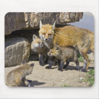 USA, Colorado, Breckenridge. Red fox mother 4 Mouse Pad